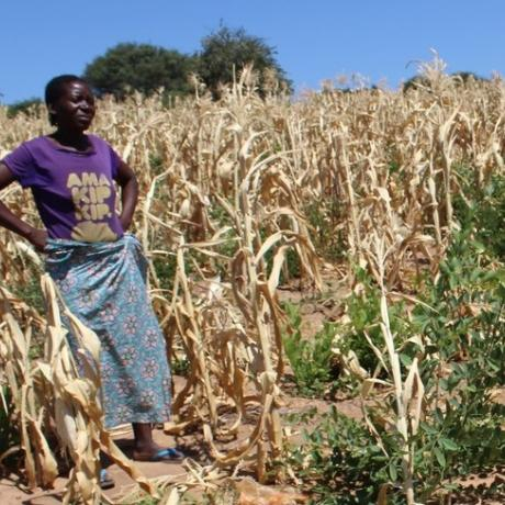 Given, a smallholder woman farmer from Zambia stands in her field surrounded by dried maize plants destroyed by prolonged drought