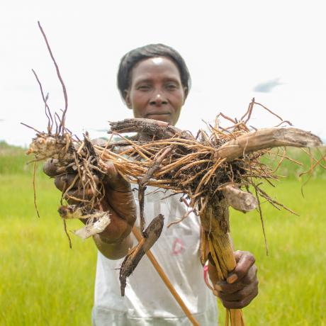 A woman stands in a green field of wild grasses, holding up Zita roots, which villages are forced to consume due to severe food insecurity