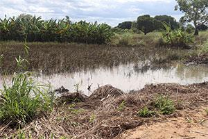 Rice fields in Mozambique devastated by climate change